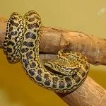 300px-Anaconda_jaune_34